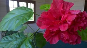 Значение на цвете хибискус