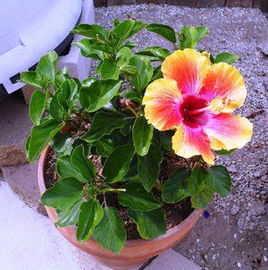 Какво означава цвете хибискус