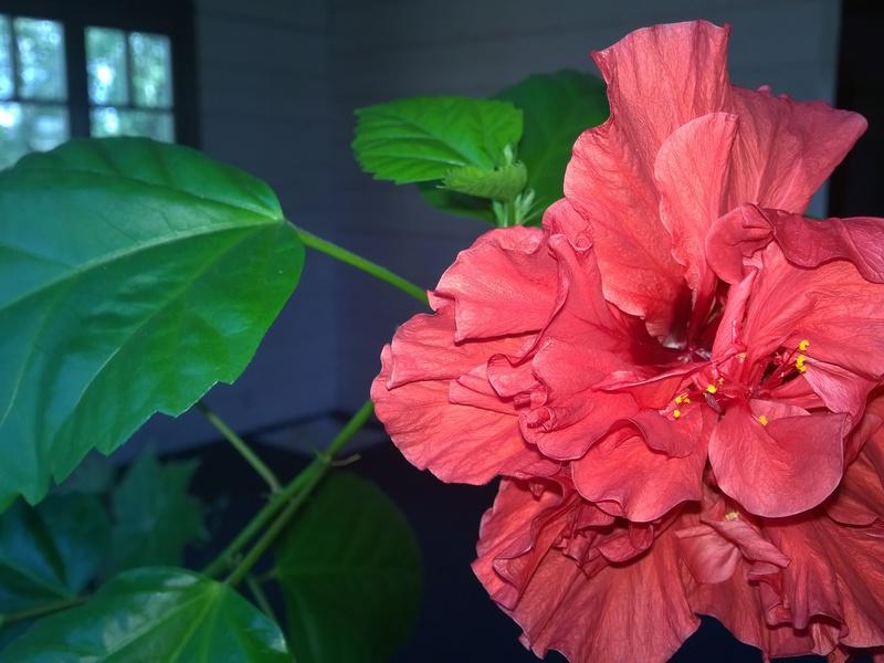 Цвят на цветя хибискус