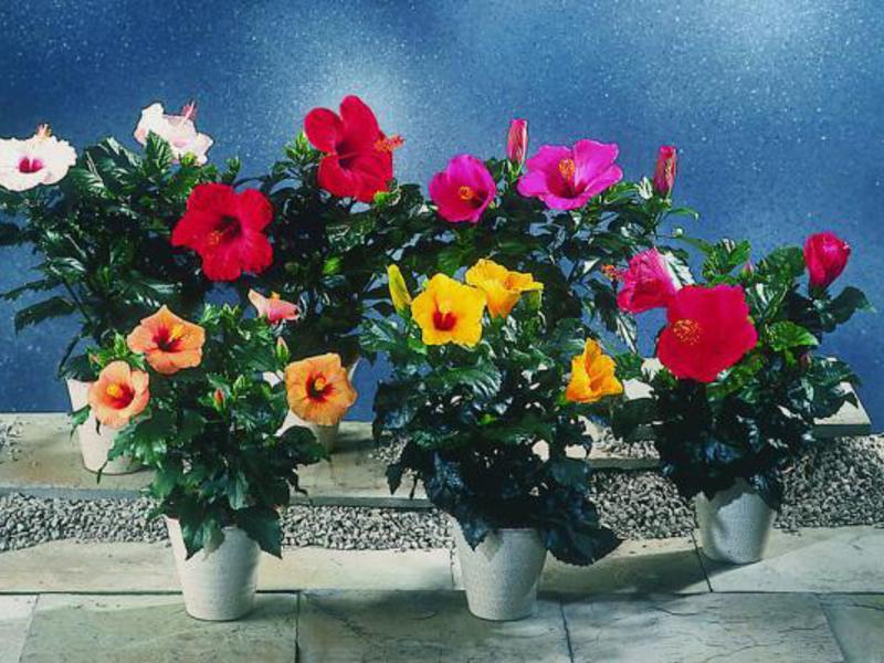 Китайско цвете хибискус