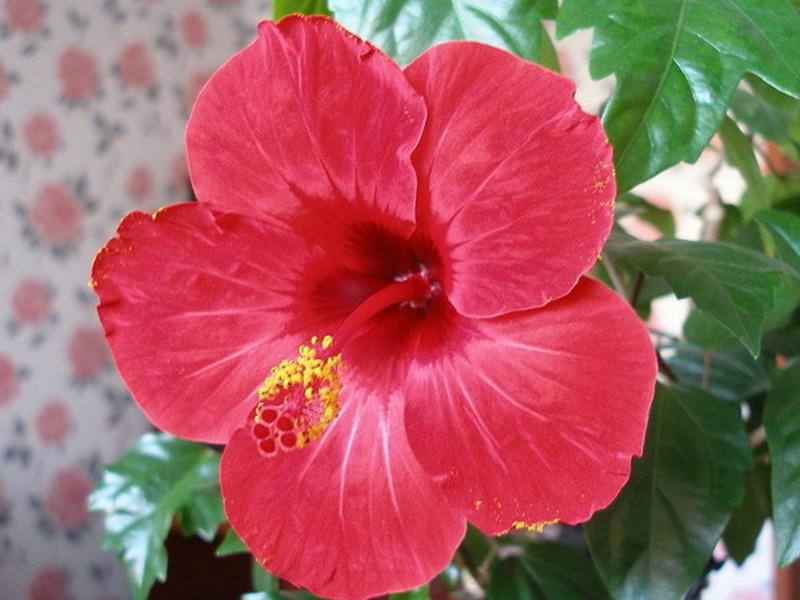Смъртно цвете хибискус