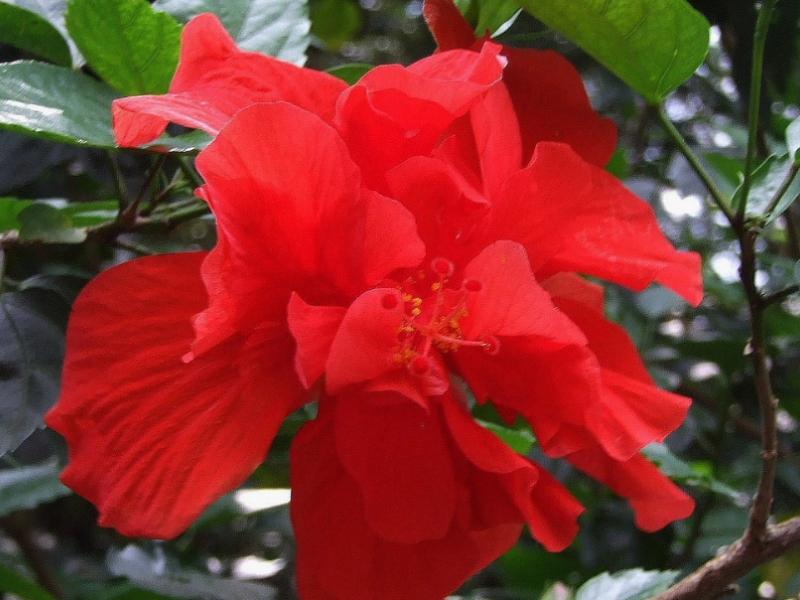 Защо китайската роза се счита за цветето на смъртта