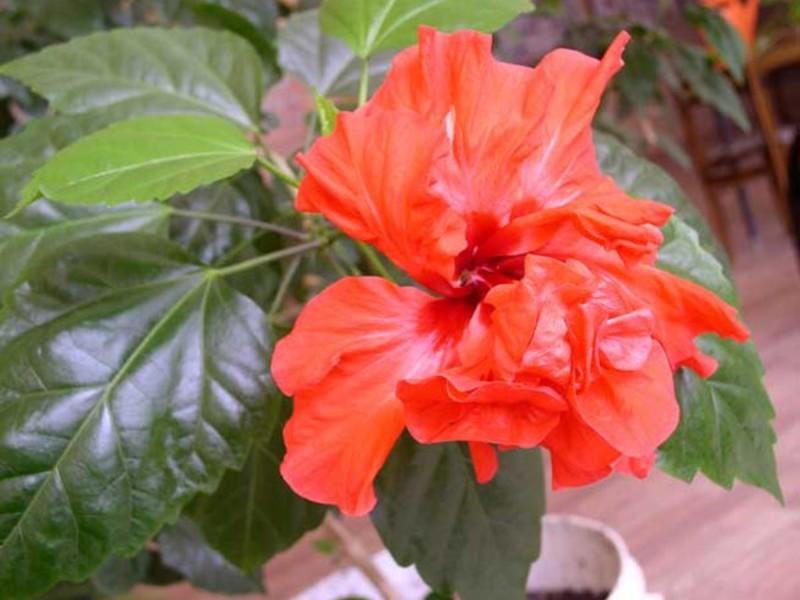 Хибискус или китайска роза