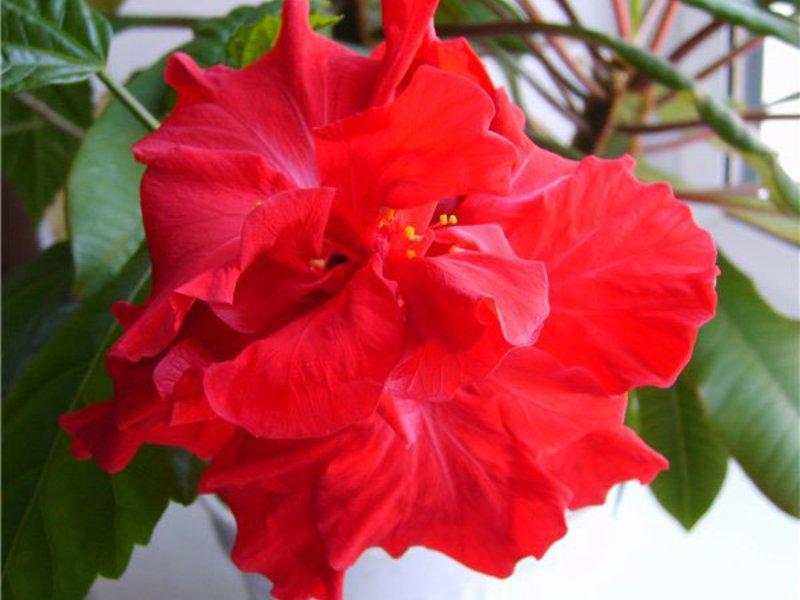 Домашна цветна роза