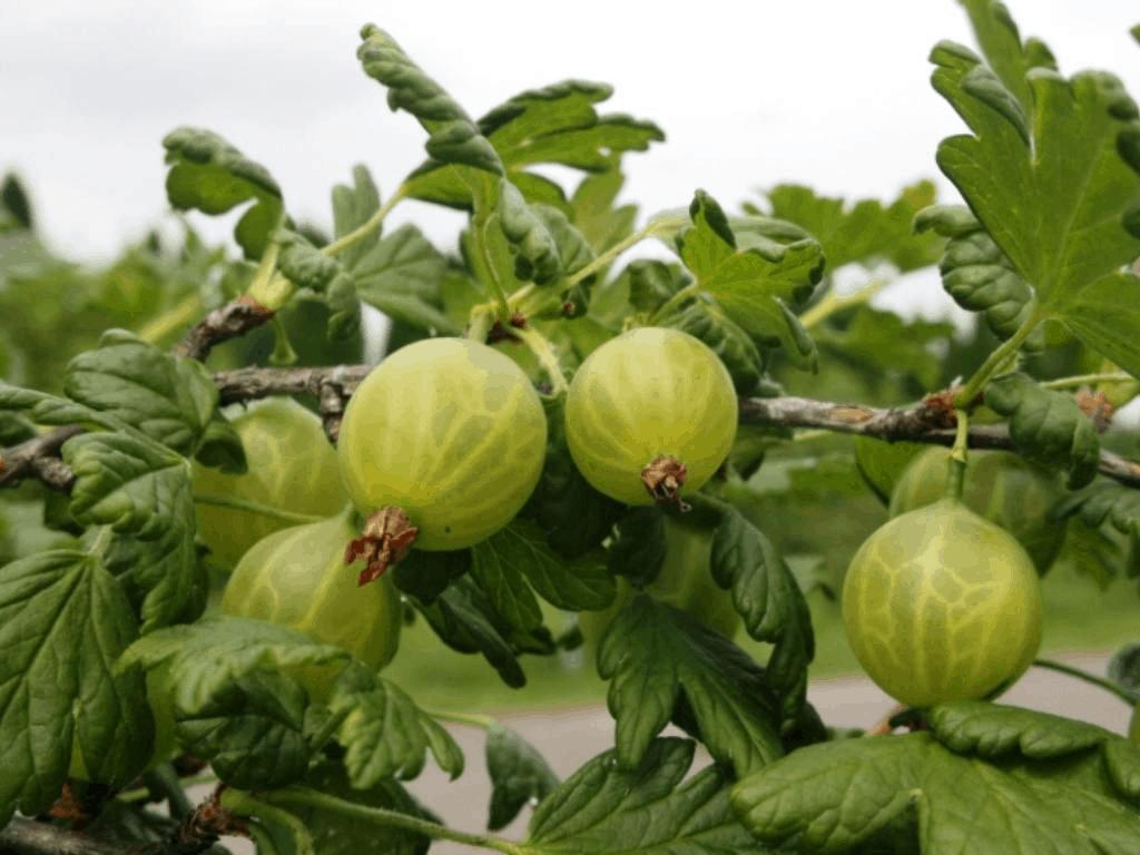 Технологии за лечение на цариградско грозде от болести и вредители, в зависимост от сезона и вида на препарата
