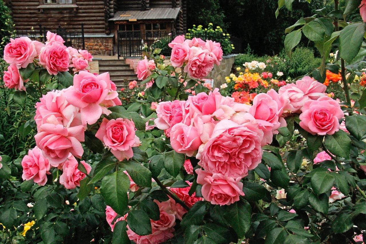 Роза Флорибунда: описание на популярни сортове със снимки, засаждане и грижи
