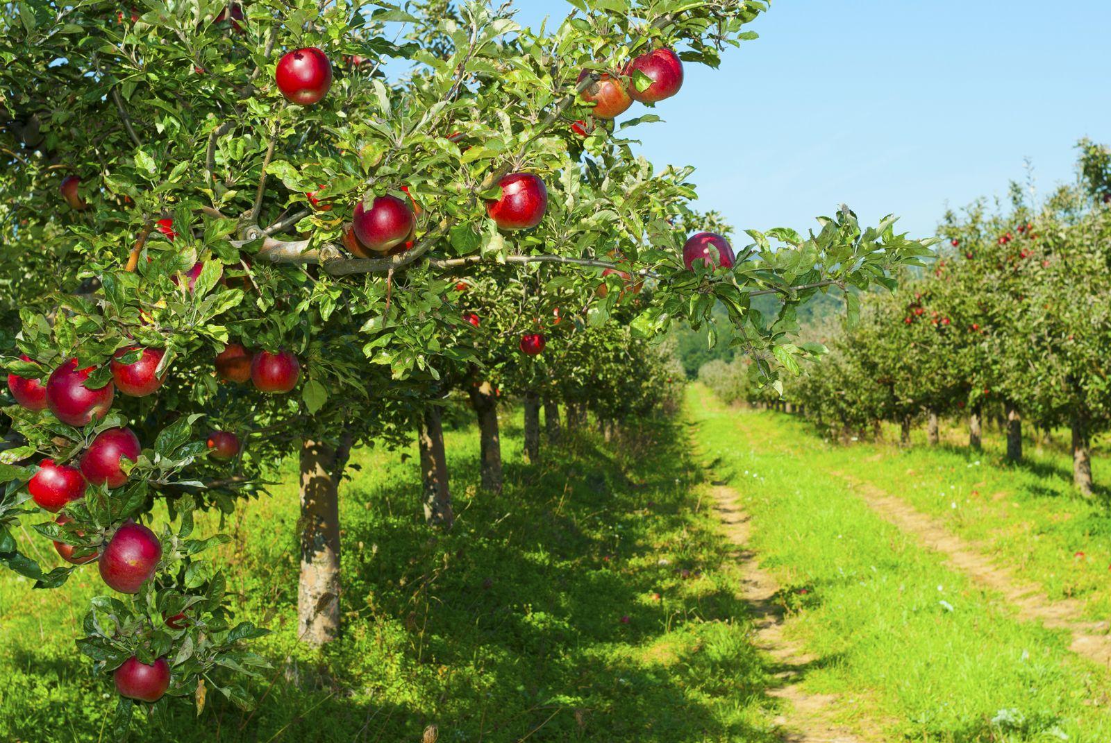 Как да отглеждаме различни сортове ябълкови дървета в региона на Москва