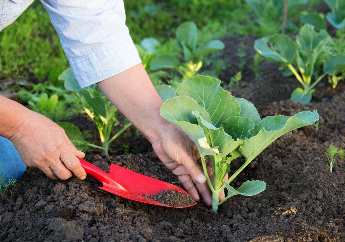 Как да засаждаме зеле за разсад: засяване на семена и грижи за разсад