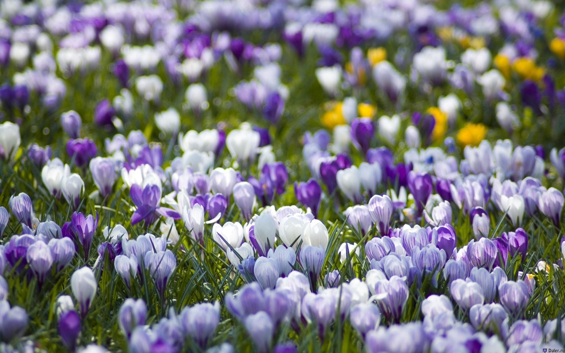 Крокус цветя: отглеждане у дома, засаждане и грижи