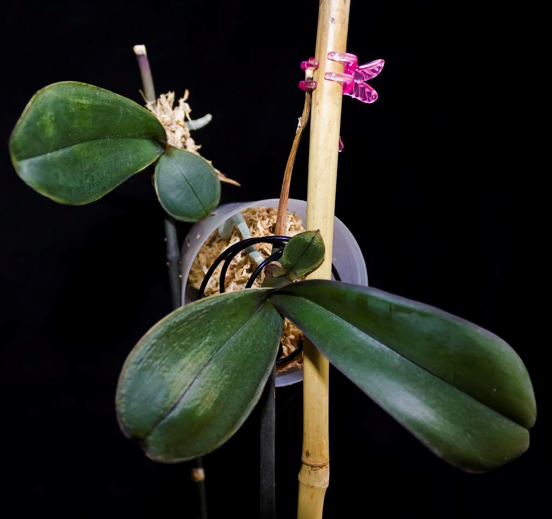 Как да засадите орхидея у дома: съвети, снимки