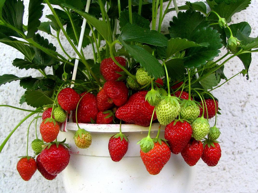 Как да отглеждаме вкусни ягоди у дома, сортове и съвети