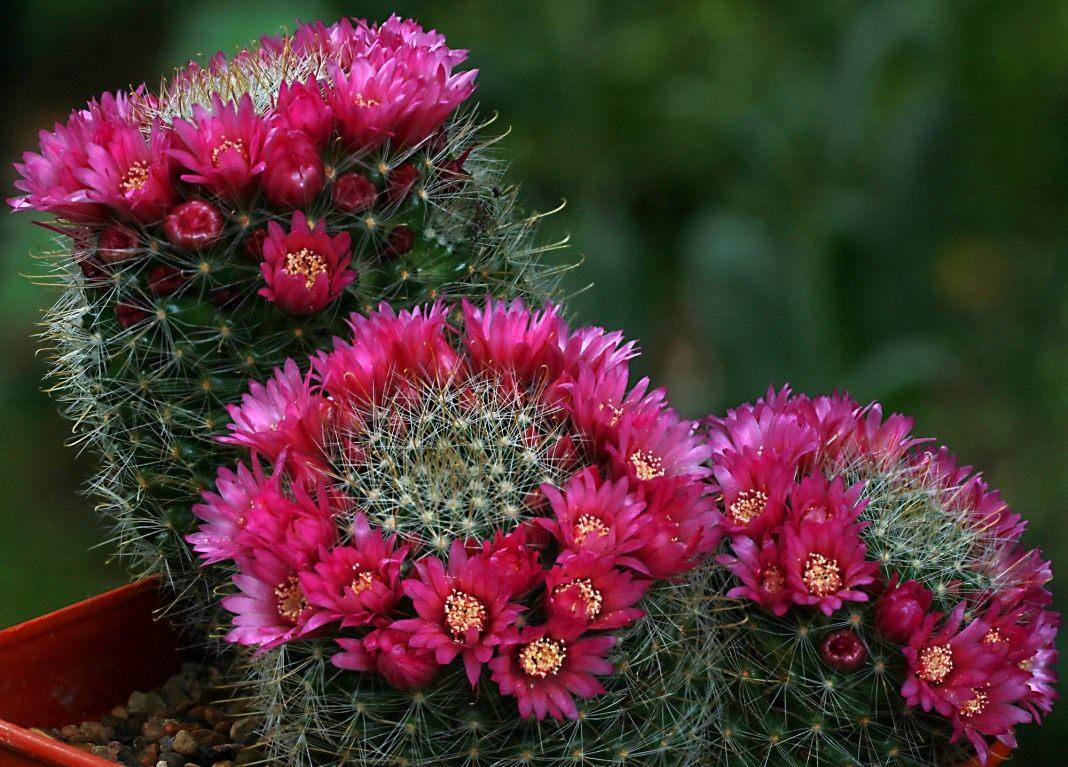 Mammillaria cactus: ดูแลบ้าน