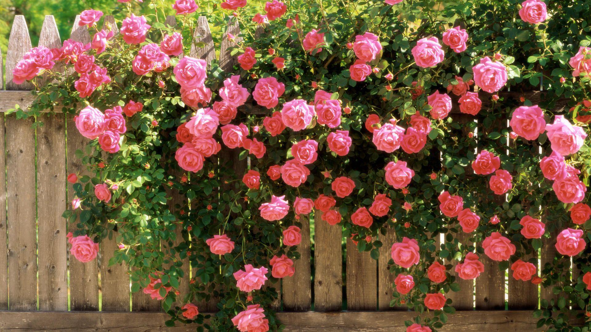 Катерещи се рози: засаждане и грижи, правила за отглеждане на открито