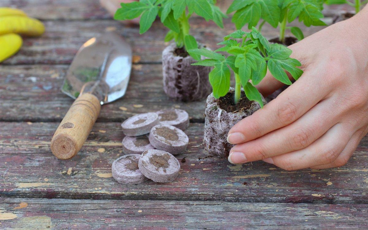 Как да засаждаме домати за разсад: подготовка на семена, избор на контейнери, методи на сеитба и грижи за разсад