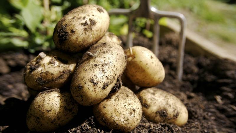 Картофи със семена: как да отглеждате супер-елитна култура
