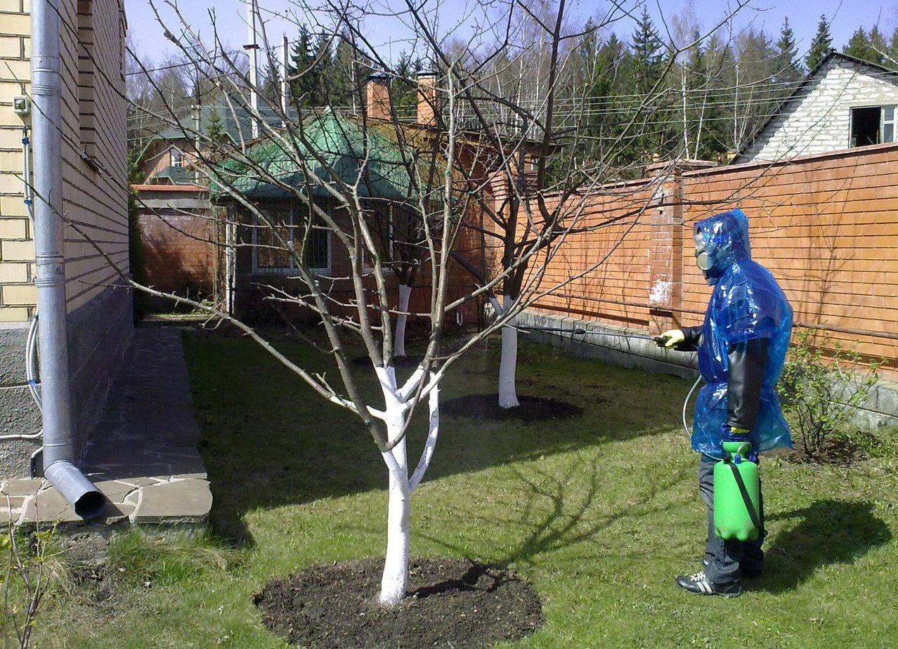 Черешовият градинар се тревожи: ние лекуваме вредители и болести, осигуряваме опрашване