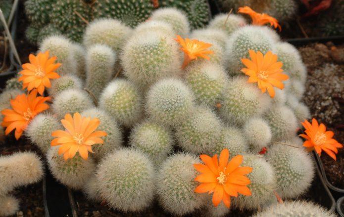 Rebutia กระบองเพชรกับดอกส้ม