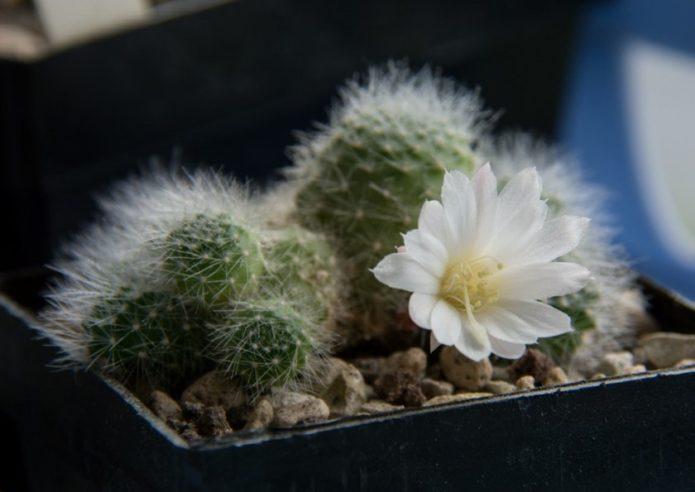Rebutia ดอกไม้สีขาว