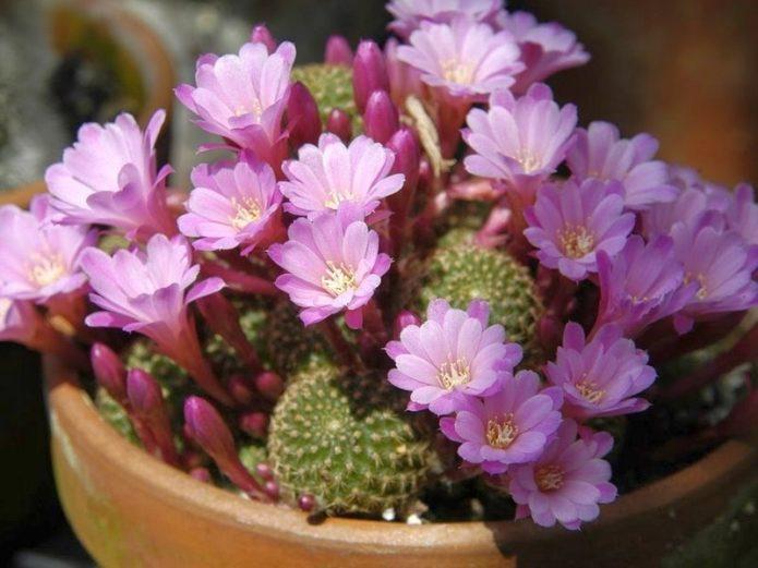 Rebutia กับดอกไลแลค