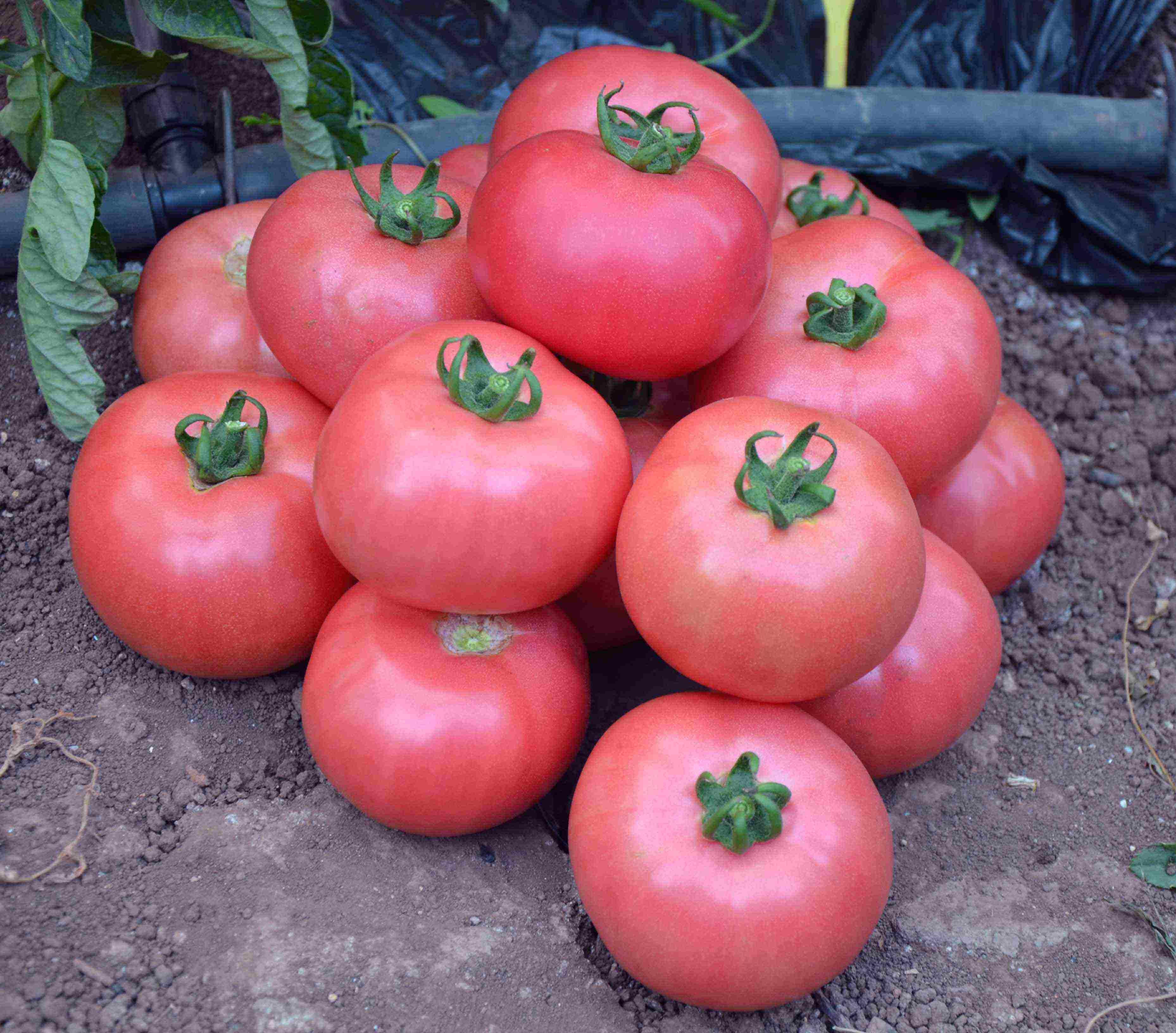Къснозрели домати Говеждо сърце: Как да отгледаме най-добрия сорт салата