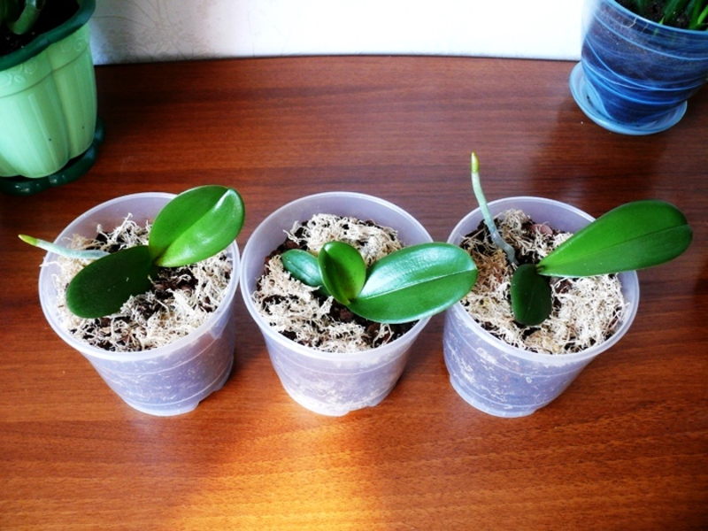 Размножаване на орхидеята фаленопсис у дома