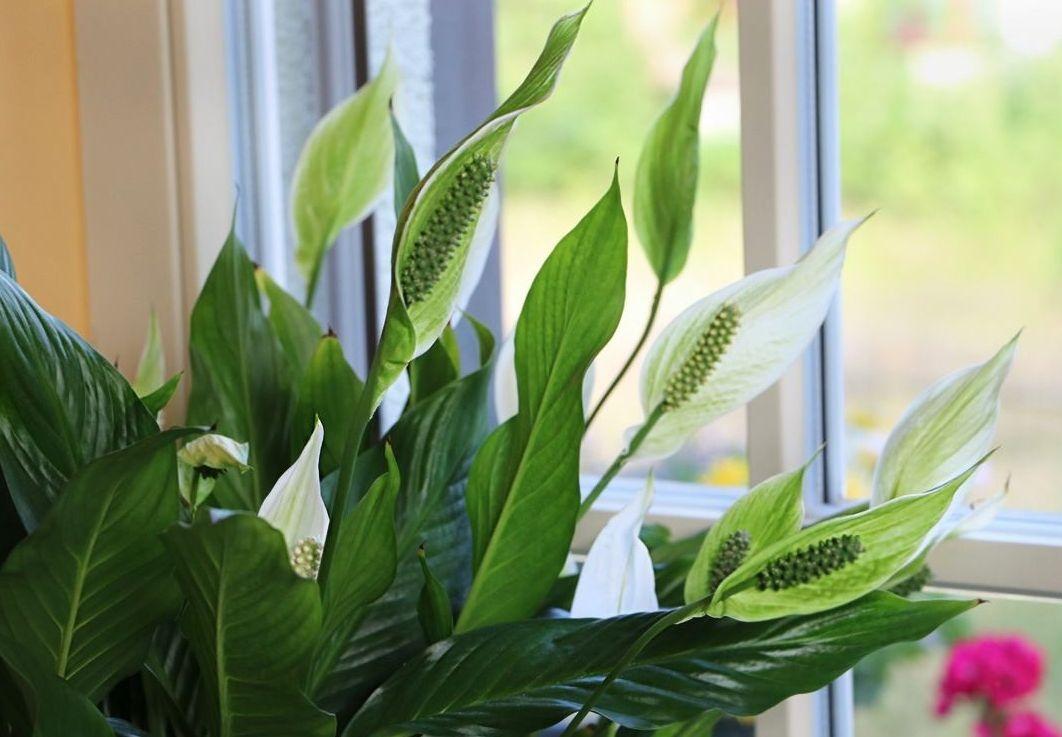 Стайни растения, които носят любов и семейно щастие в къщата
