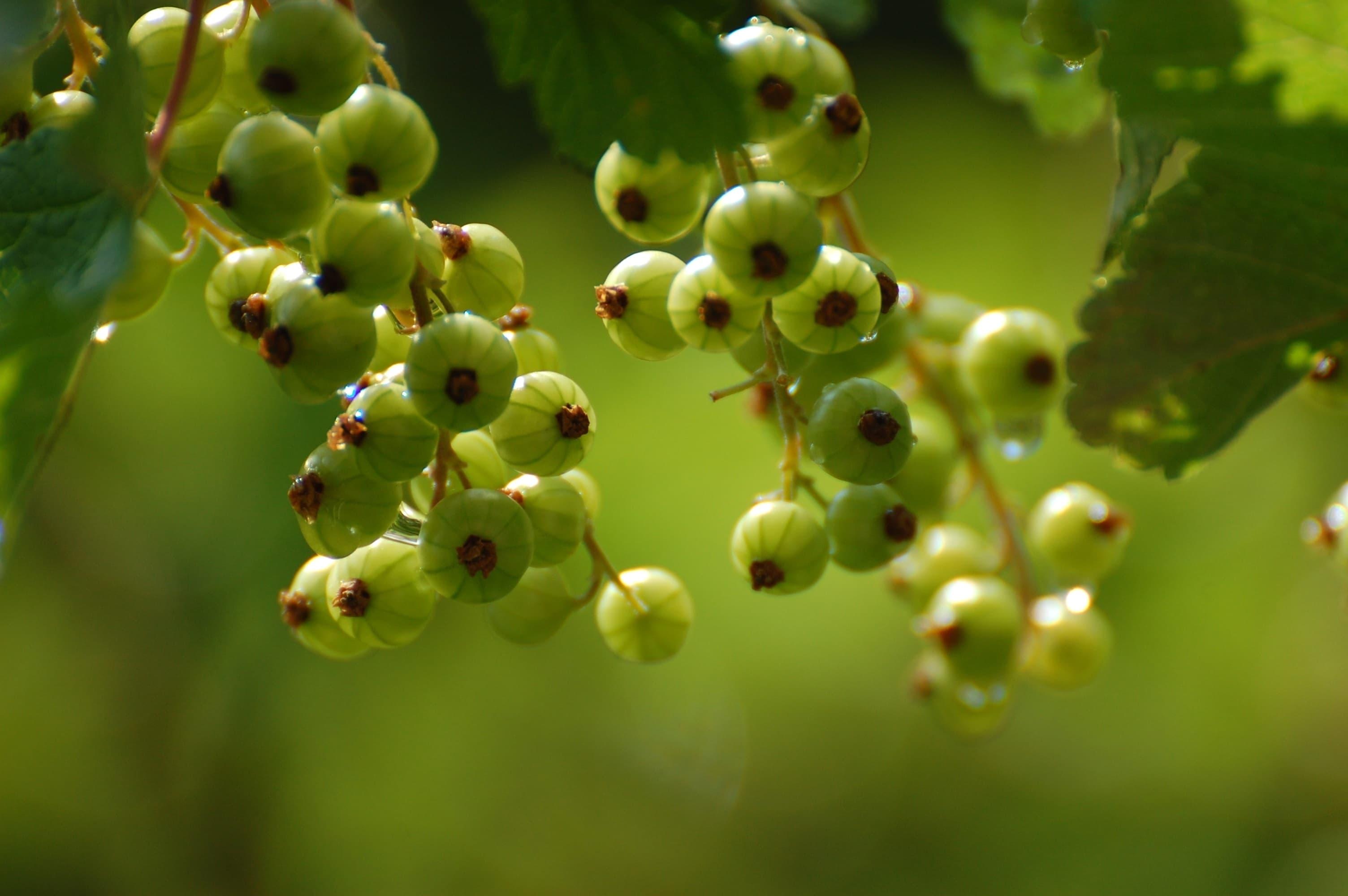 Технология на отглеждане на касис, особено засаждане и грижа за храсти в различни региони